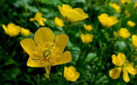 Réti boglárka, mezei virág, tavasz háttérkép 249349