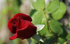 nyári virág bimbó rózsa valentin