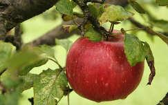 gyümölcs alma vízcsepp