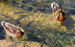 hal világörökség kacsa horvátország vizimadár plitvicei tavak