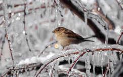 Veréb a jégcsapos faágon