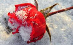 Decemberi rózsa...