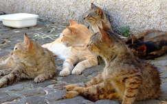 Szicíliai macskák