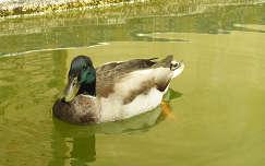 Alcazar úszó kacsája