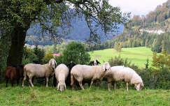 Ausztriai bárányok