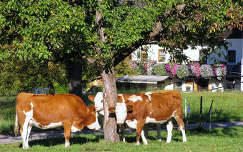 Ausztriai tehenek