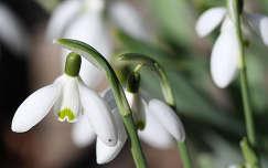 Korai hóvirágok