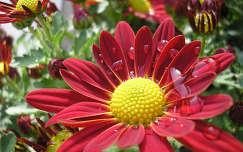dália nyári virág vízcsepp