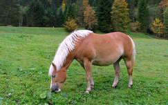 Ausztriai hegyi ló