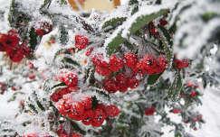 Taksony, havazás, piros bogyó :)