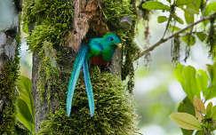 Leselkedő quetzal