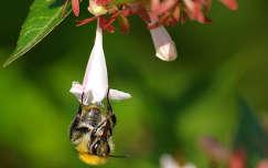 Szorgos méhecske