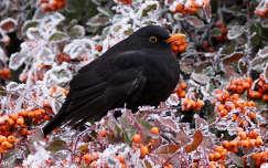 madár örökzöld tűztövis zúzmara rigó tél feketerigó