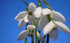 tavaszi virág hóvirág vadvirág nőnap