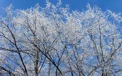 zúzmarás fák