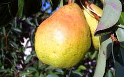 gyümölcs körte
