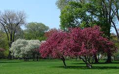 Virágzó fák a parkban