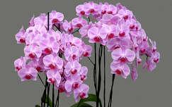 Szlovénia, Dobrovnik, Ocean Orchids, Orchidea Farm, Phalaenopsis