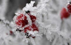 zúzmara csipkebogyó gyümölcs tél