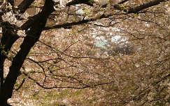 Virágba borult cseresznyefák