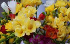nyári virág névnap és születésnap frézia