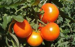 Zöldség-paradicsom. Fotó: Csonki