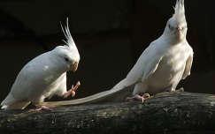Fehér nimfa papagájok