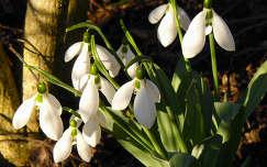 Napfürdőző hóvirágok