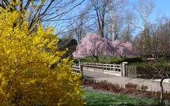 Tavasz a parkban, aranyeső és virágzó fák