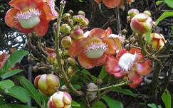 Különleges virág, Srí Lanka