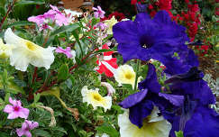 petúnia nyári virág