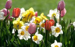 Tavaszi virágok, nárciszok és tulipánok napfürdőben