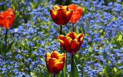 Tulipánok nefelejcsek között