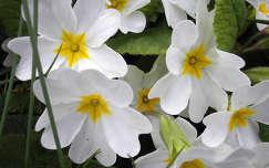 tavaszi virág kankalin