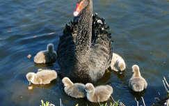 Zwarte zwaan met 6 kuikens, Haarlem - Holland