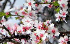 Mandulafa virága