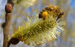 Méh a fűzfa barkán