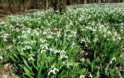 Magyarország, Alcsútdoboz, Alcsúti Arborétum - hóvirágmező