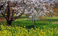 virágzó fa kerítés repce tavasz