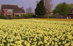 Holland - Lisse,   Bloembollen velden
