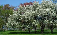 virágzó fa kertek és parkok tavasz