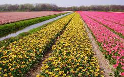 Holland - Lisse, Bloembollenvelden