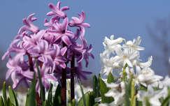 tavaszi virág jácint tavasz
