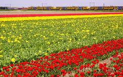 Nederland - Lisse, Bollenvelden