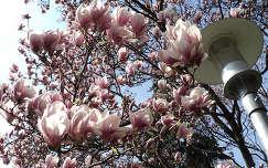 magnólia lámpa tavasz