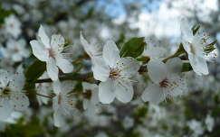 Szilvafa virága
