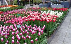 Keukenhof, Hollandia, tulipán