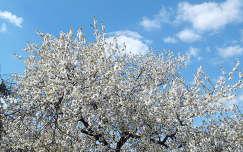 Virágzó cseresznyefa,     fotó: Kőszály