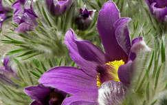 kökörcsin tavaszi virág tavasz vadvirág