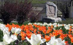 Hollandiából ajándékba kapott tulipánok Pécs városában